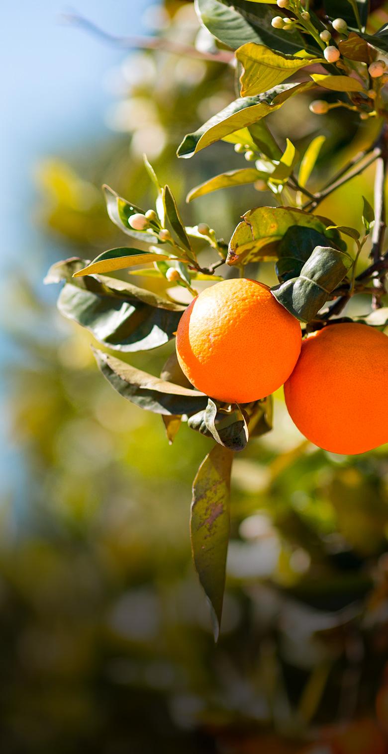 naranjas-mandarinas-gracianito-sevilla